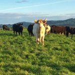 Croftjane Cattle